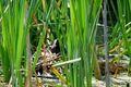 Brünning Blaesshuhn auf Nest 02.jpg
